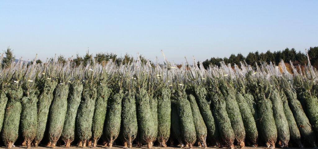 Tannenbäume bereit zum Verkauf  - Häufig industrieller Anbau
