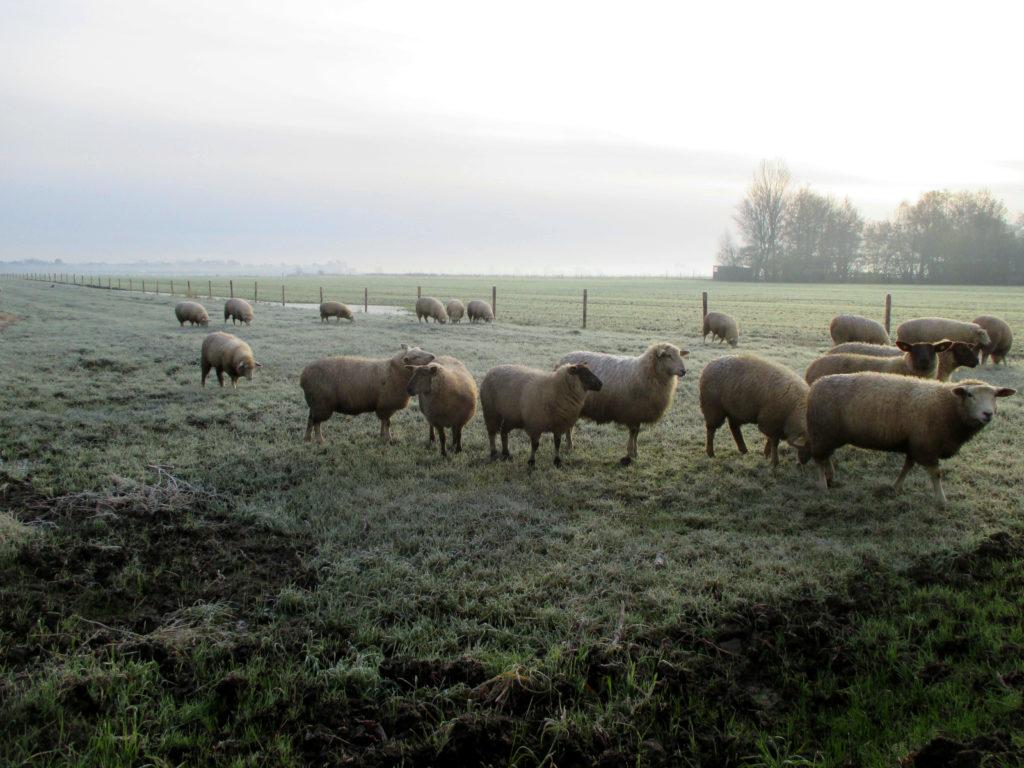 Schafherde im Winter - In Panik durch die Zäune