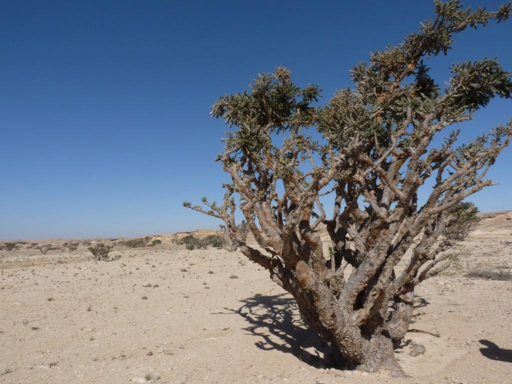 Weihrauchbaum - Chaotische Länder versagen beim Schutz ihrer Ressourcen