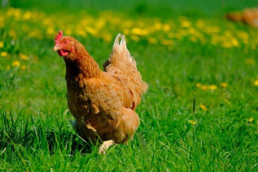 Freiland-Huhn stakst durch eine Wiese