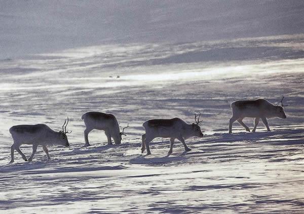 Umherziehende Rentiere in schneebedeckter Landschaft
