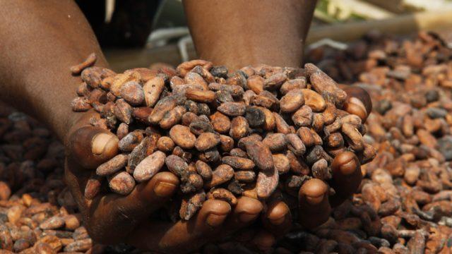 Trocknung von Kakao-Bohnen