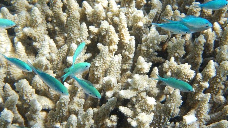 ausgebleichte Korallen im Great Barrier Reef
