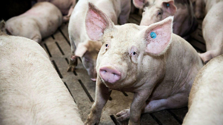 Schweine drängen sich in einer engen Box