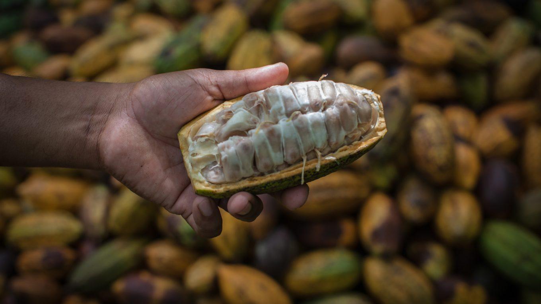 Ernte von Kakaofrüchten