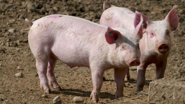 Schweine im Freiland