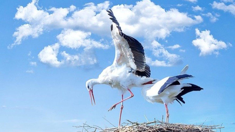 Storchenpaar auf seinem Nest